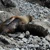 NZ fur Seals, Feeding Time